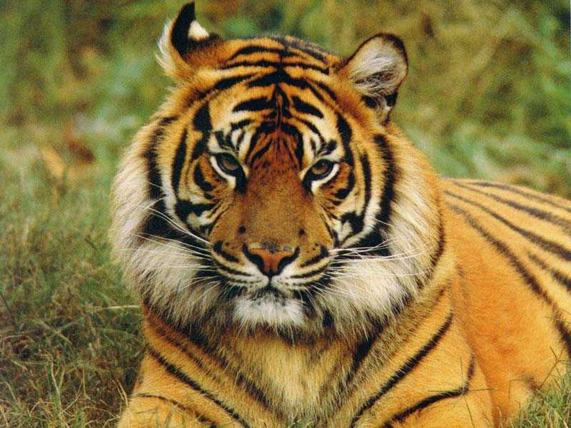 Crouching Tigers, Hidden Dangers: www.the-south-asian.com/april2001/Royal Bengal Tiger-Endangered.htm